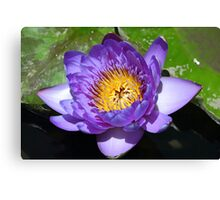 Intense Purple and Yellow Open Blossom Canvas Print