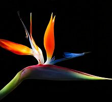 Bird of Paradise - (Crane Flower) by Sandy1949