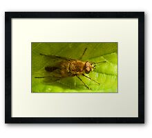 Therevidae on a strawberry leaf Framed Print