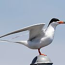 Forester's Tern by Dennis Cheeseman