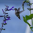 Humming Bird by Keith Arends