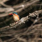 Malachite Kingfisher 1 by Warren. A. Williams