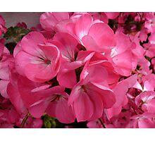 Geranium Pink Photographic Print