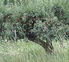 Apple Tree - Vintage Orchard - RAW by karaskye