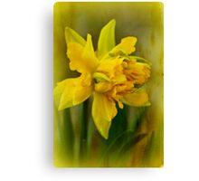 Old Fashioned Daffodil Canvas Print