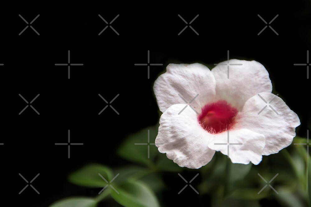 Trumpet Vine Flower in Black  by Heather Friedman