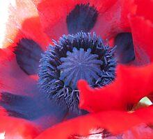 Poppy in bloom - Norfolk, UK by Teresa Lewis