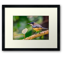 Spinebill... Framed Print