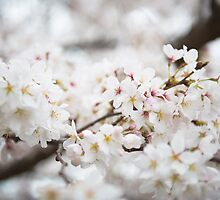 Cherry Blossoms by Mark Eden