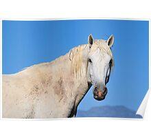 Friendly White Stallion-Close Up Poster