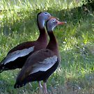Black-bellied Whistling-Duck by Penny Odom