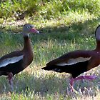 Black-bellied Whistling-Duck~2 by Penny Odom