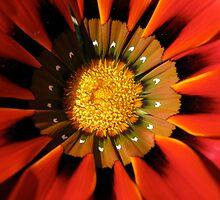 Gazanea Flower from Morgan - photo by Heather Holland  by Heatherian