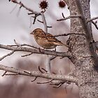 Winter Sparrow - Goulburn NSW Australia  by candysfamily