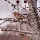 Winter Sparrow - Goulburn NSW Australia  by candysfamily