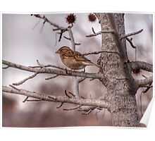 Winter Sparrow - Goulburn NSW Australia  Poster