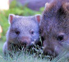 Baby Wombat. by Ian Cox