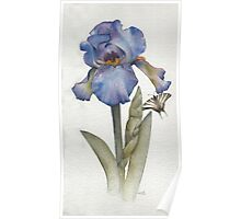 Blue Iris with Swallowtail Butterfly Poster