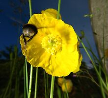 Bumblebee flying to yellow poppy by turniptowers