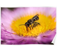 small bee on an aster flower Poster