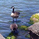 Canada Goose by IrisGelbart