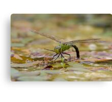 Dragonfly - Low Level Canvas Print