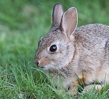 Bunny in the grass by Eivor Kuchta