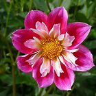 Dahlia pink-white by Evelyn Laeschke
