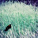 Redwinged Blackbird by angelandspot