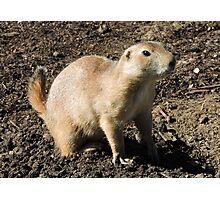 Prairie Dog Photographic Print