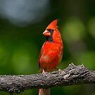 Northern Cardinal by jamesmcdonald