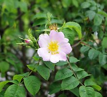 Rosa Canina – English Dog Rose by Francis Drake