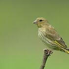 Juvenile greenfinch by Peter Wiggerman