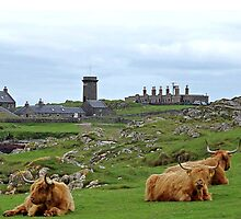 Highland Cows at Skerryvore Lighthouse Vilage, Hynish, Isle of Tiree Scotland by youmeus