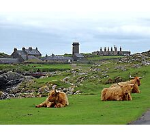 Highland Cows at Skerryvore Lighthouse Vilage, Hynish, Isle of Tiree Scotland Photographic Print