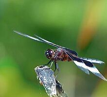 Dragonfly by Susan S. Kline
