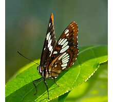 Lorquin's Admiral Butterfly Photographic Print