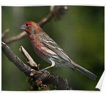 House Finch Poster