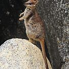 Mareeba Rock-wallaby Joey  - (Petrogale mareeba)  Granite Gorge - Atherton TL by john  Lenagan