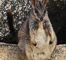 Mareeba Rock-wallaby Joey  - (Petrogale mareeba)  Granite Gorge - Atherton TL by john  Lenagan