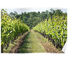 Vineyard Path Poster