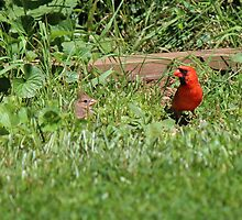 Papa Cardinal and Baby by virginian