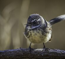 Grey Fantail by Les Imgrund
