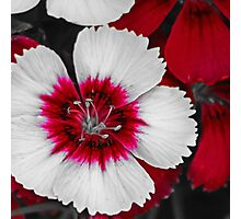 Red & White Dianthus Photographic Print