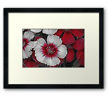 Red & White Dianthus Framed Print