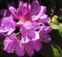 Rhododendron by Linda  Makiej