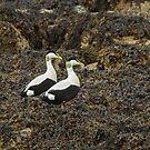 Eider Ducks by Sue Robinson