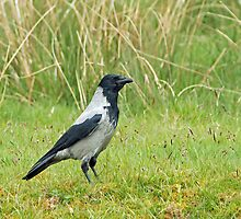 Hooded Crow by Sue Robinson