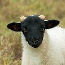 Black-Faced Sheep Lamb by Sue Robinson
