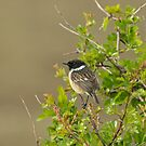 Stonechat on Hawthorn by Sue Robinson